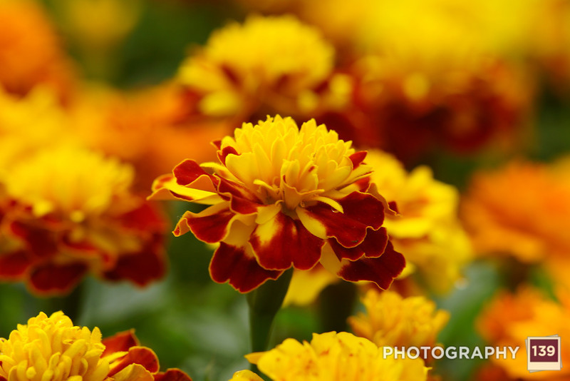 Marigold from the Northwest Greenhouse.