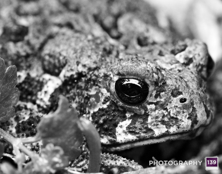 A little toad friend I found while weeding the lily patch.