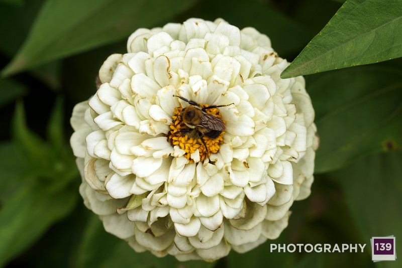 A bee on a zinnia at the Iowa State Fair.
