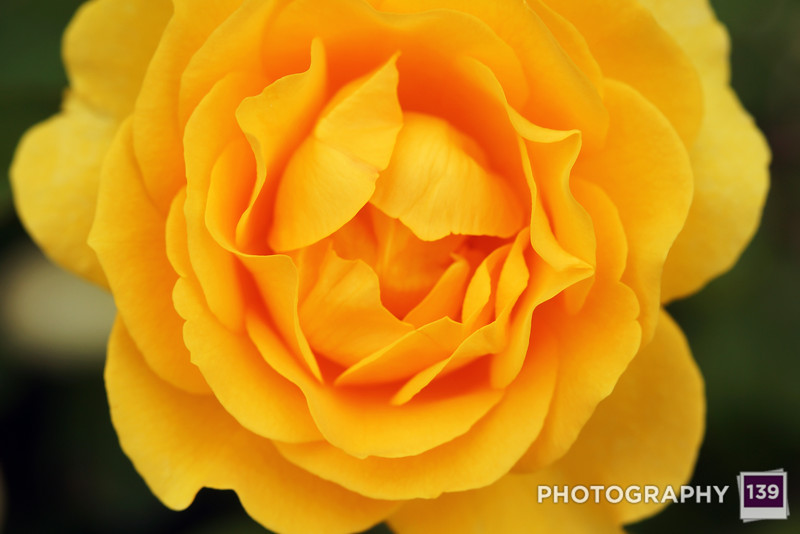 A yellow rose in the State Center Rose Garden. (Photo Assistant: Jesse Howard)