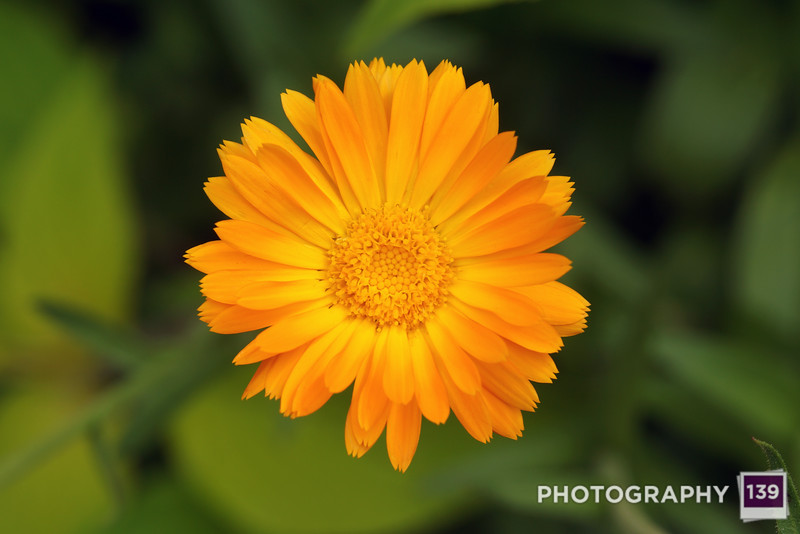 I believe this to be a daisy of some kind, from the Iowa State Fair.