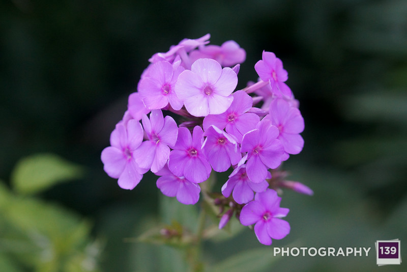 Some phlox from my backyard.