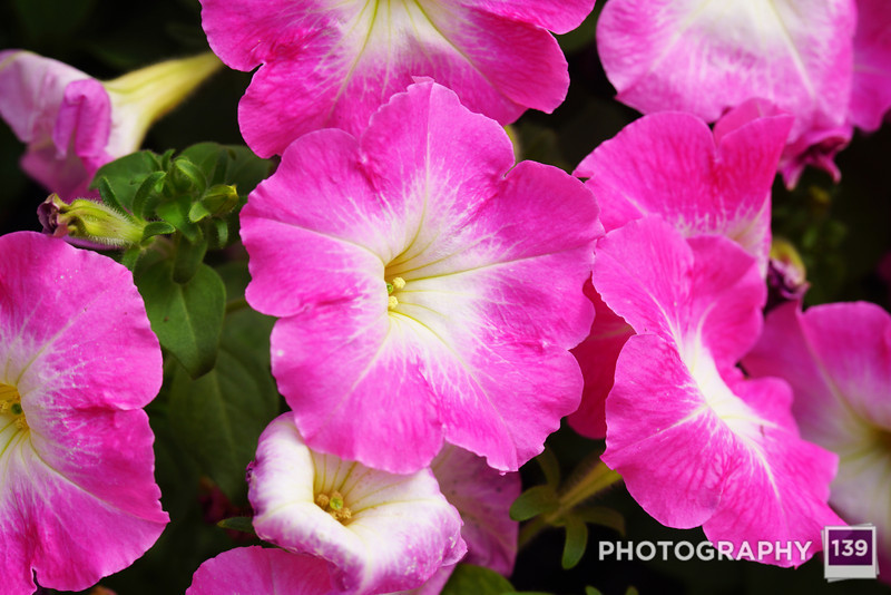 Petunias from the Northwest Greenhouse.