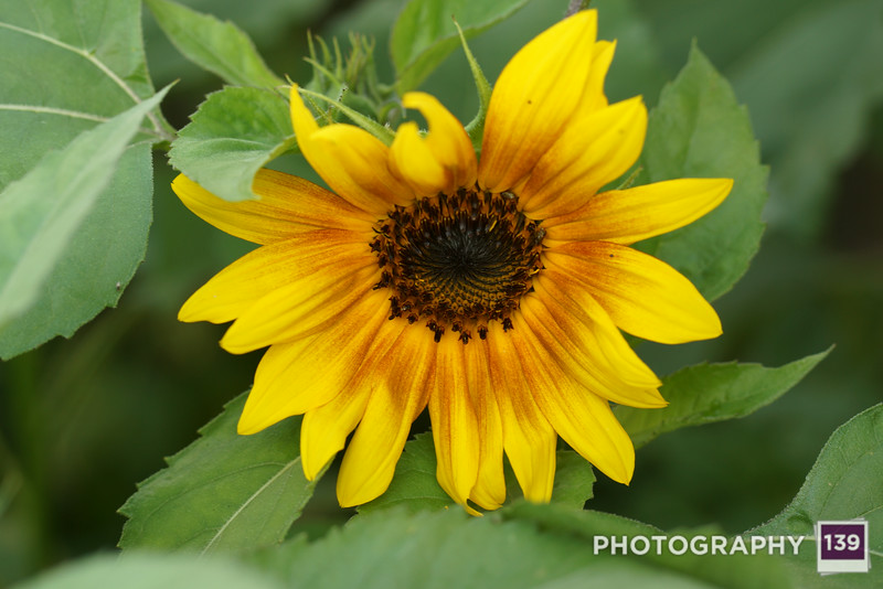 The first sunflower of the year!