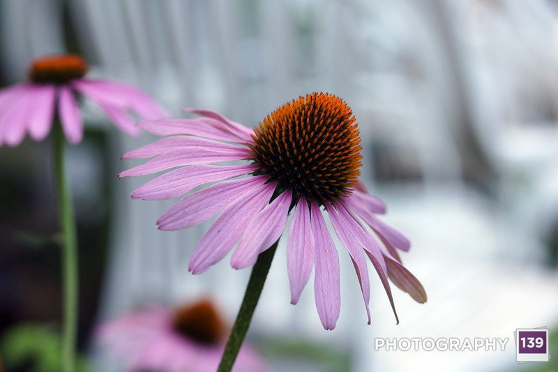 My old friend the coneflower.