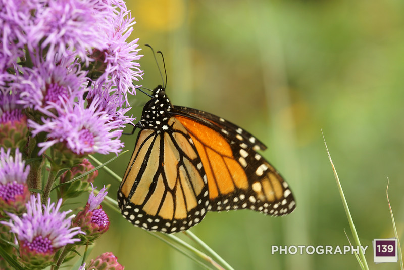 A butterfly doing butterfly things at the Iowa State Fair.