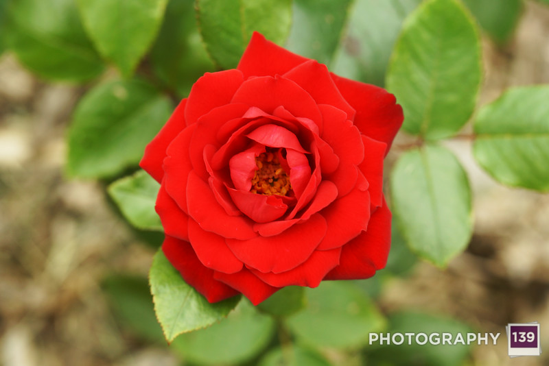 A rose from the State Center Rose Garden. (Photo Assistant: Jesse Howard)