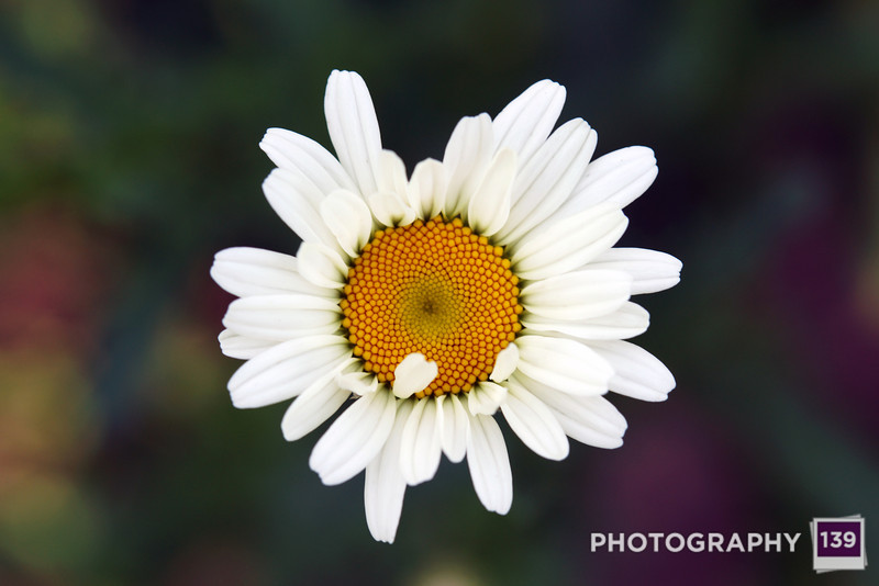 My first daisy of the year!