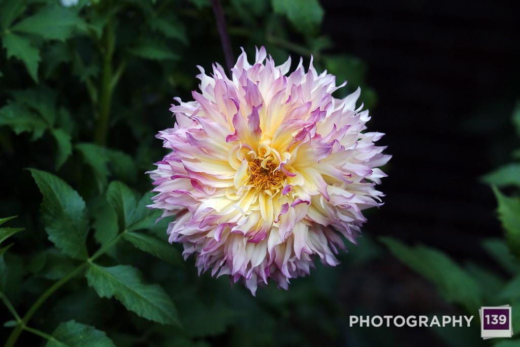 Iowa State Fair Flower